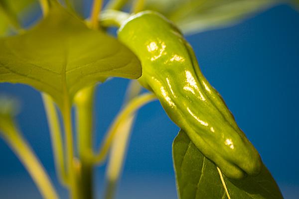 led grown chilli penis pepper 1