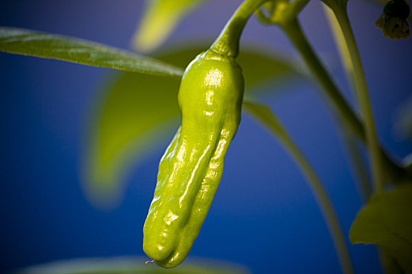 led grown chilli penis pepper 2