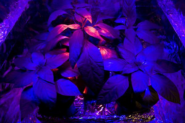 Chili LED week 10 growing