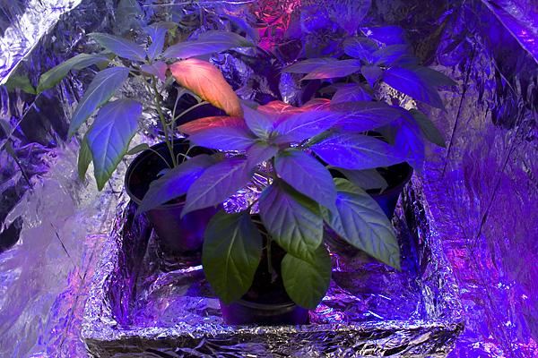 Chili LED week 11 growing