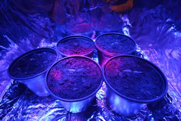 Growing under LED