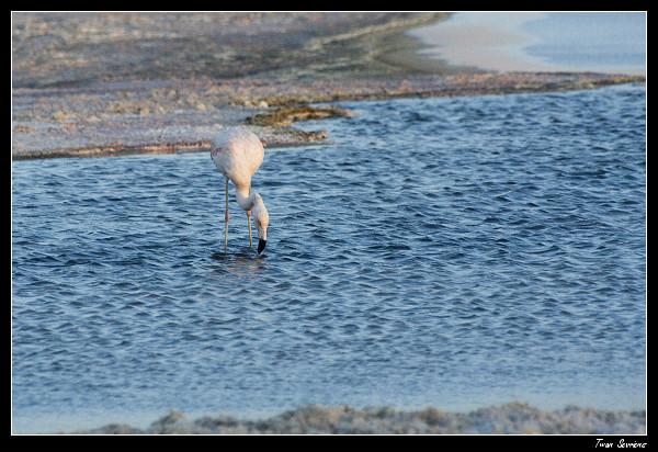 Chaxa lagoon flamengo